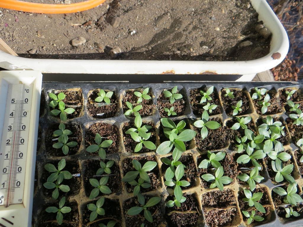 Когда сеять семена эустомы на рассаду в сибири 87