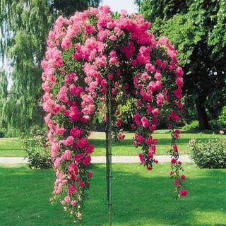 Самая большая роза