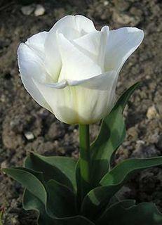"Заказ садовых растений на "" Сотке"".( Тюльпаны) 0386445001366951520"