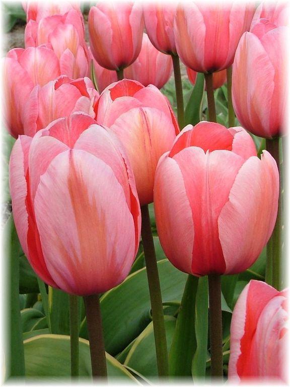 Тюльпаны дизайн импрешн