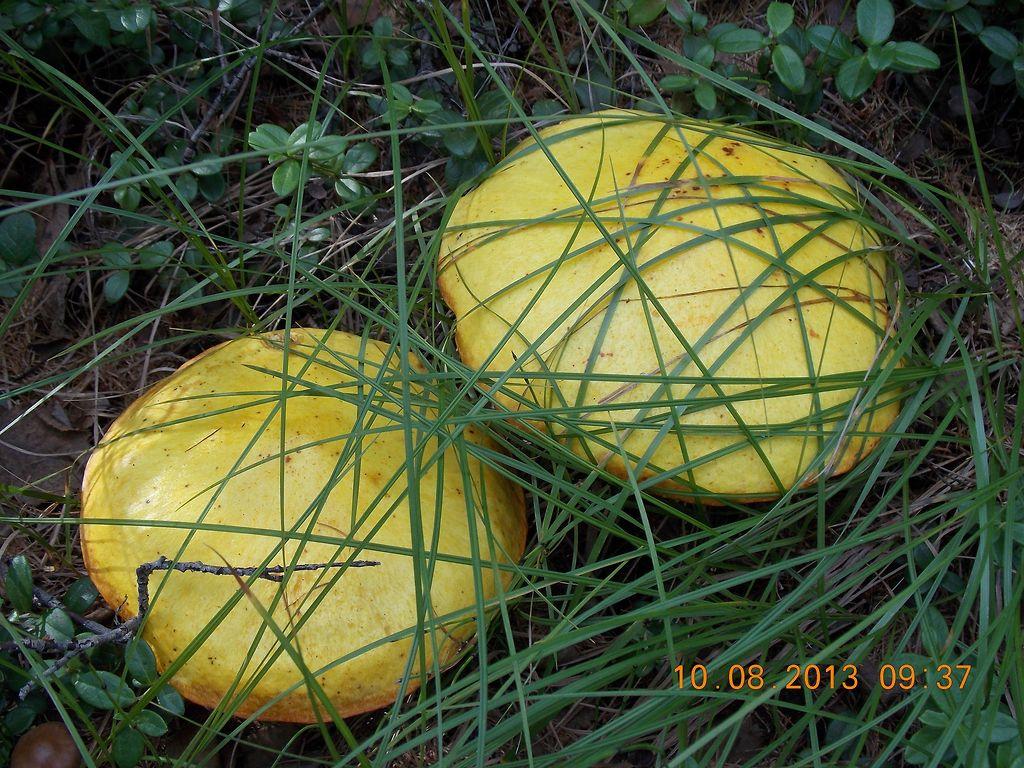 жёлтые маслята фото