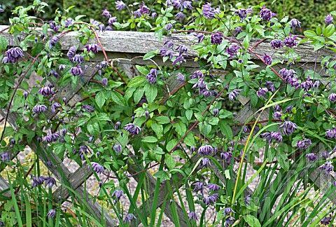 Клематисы фото сорта цветы группы Уход выращивание