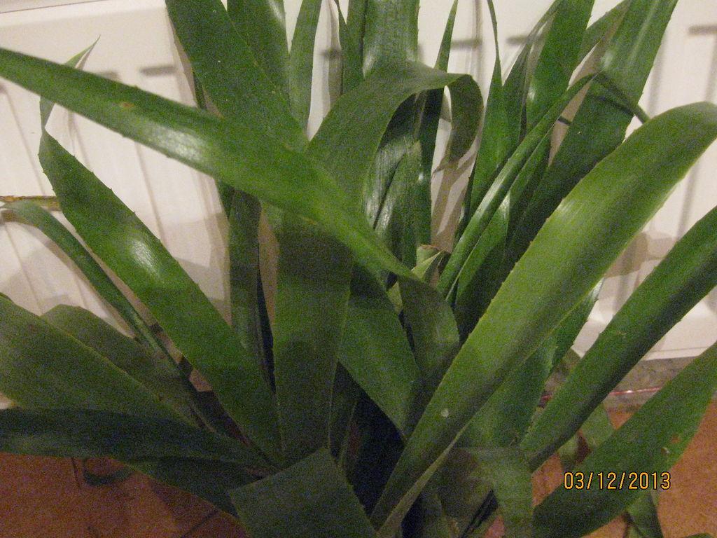 Комнатные растения дающие зеленые стрелы фото