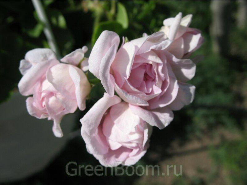 Пеларгония плющелистная фото каталоги