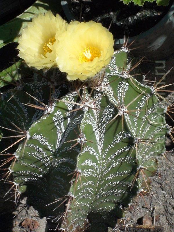 Astrophytum ornatum (Астрофитум украшенный ) / Видовой