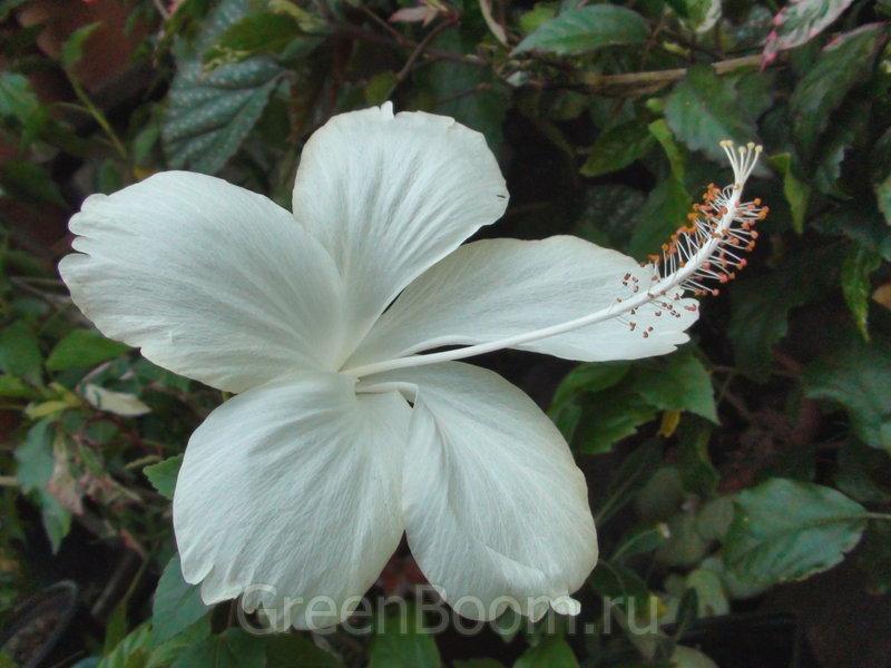plant, Hibiscus Swan Lake
