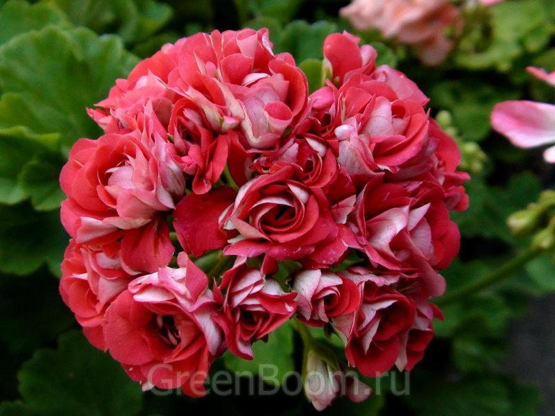 Pelargonium zonale (Пеларгония зональная) / Rosebud Supreme