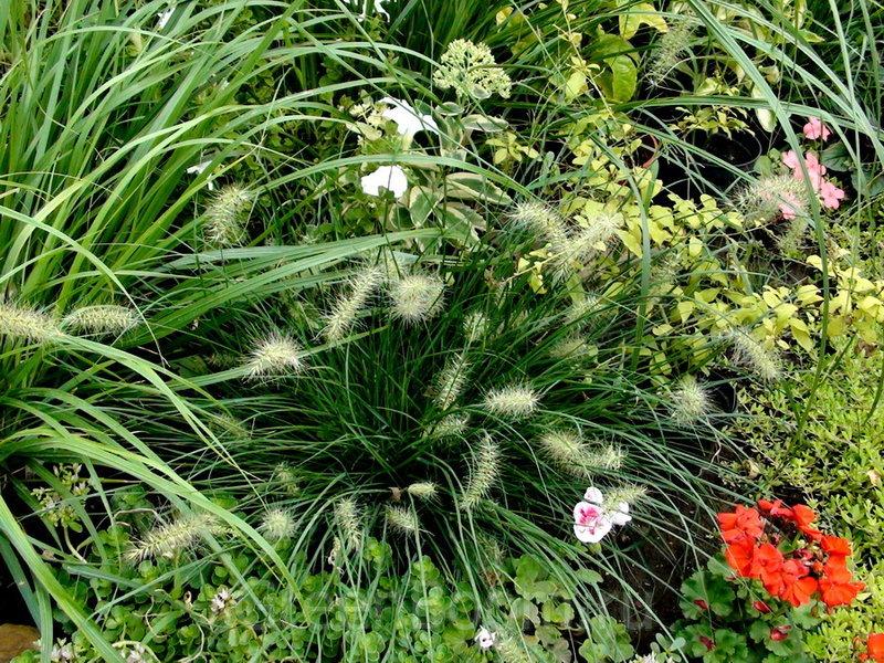 Pennisetum alopecuroides (Перистощетинник лисохвостный) / Little Honey