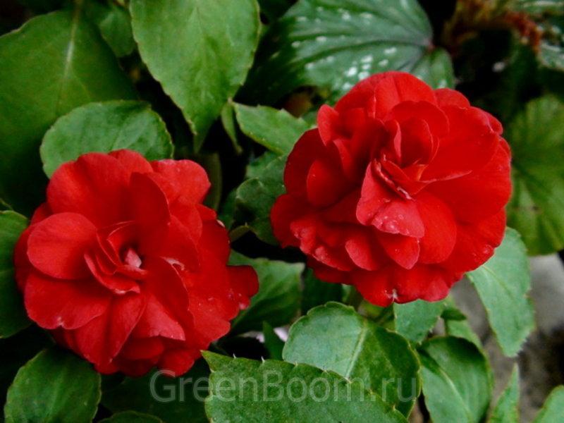 Цветок ванька мокрый - уход в домашних условиях, правильный 27