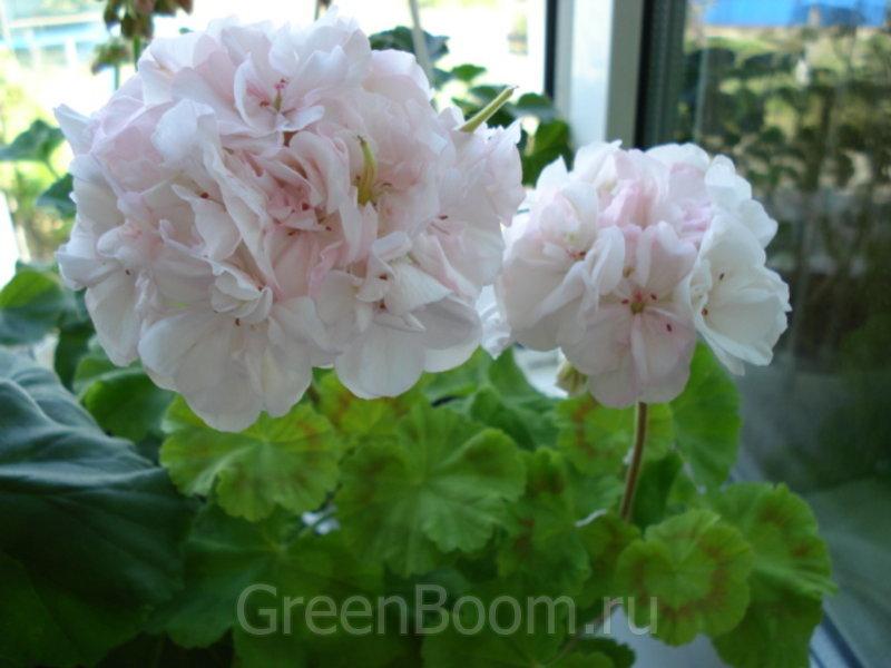 Pelargonium zonale (Пеларгония зональная) / Brookside Betty