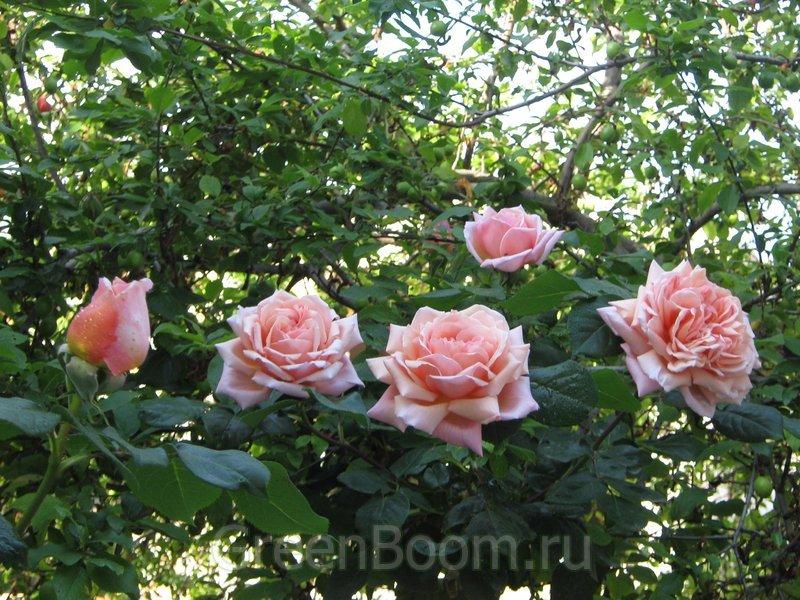 Casino Розы