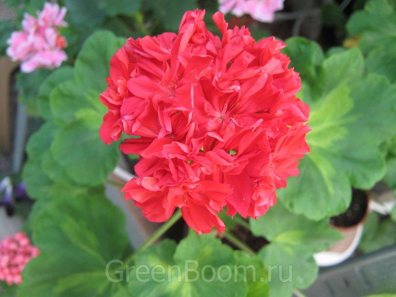 Pelargonium zonale (Пеларгония зональная) / Helen