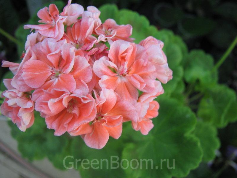 Pelargonium zonale (Пеларгония зональная) / Lake