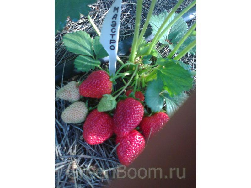 Клубника садовая маэстро фото описание