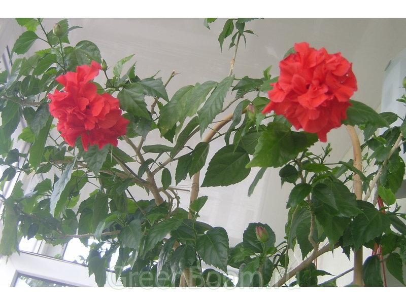 Китайский роза как ухаживать за ней в домашних условиях 58