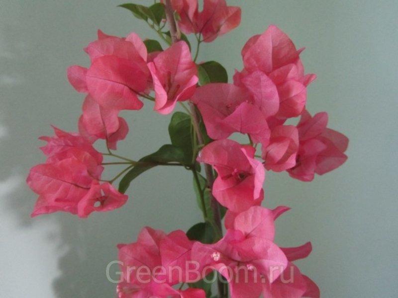 зацветает кораловым. при процветании переходит в светло-розовый.  Быстрорастущий и легко цветущий сорт.