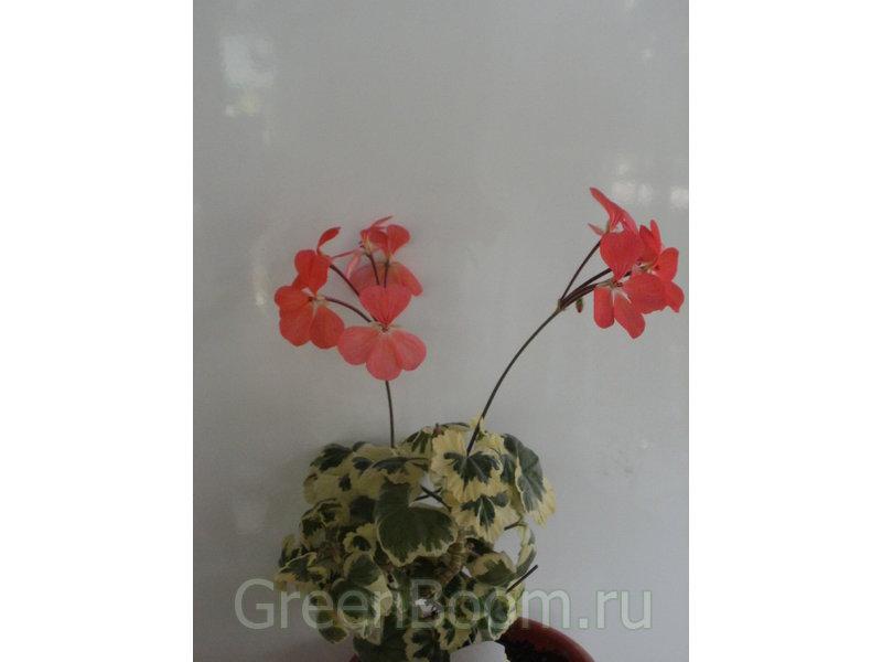 Пеларгонии зональные / Pelargonium zonale (Пеларгония ...: http://greenboom.ru/plant_info/43760/pelargonii_zonalnye/pelargonium_zonale_pelargoniya_zonalnaya_frank_headly