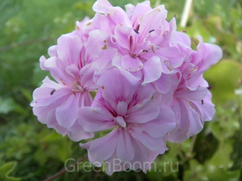 Пела�гонии пл��ели��н�е pelargonium ivyleaf Пела�гония