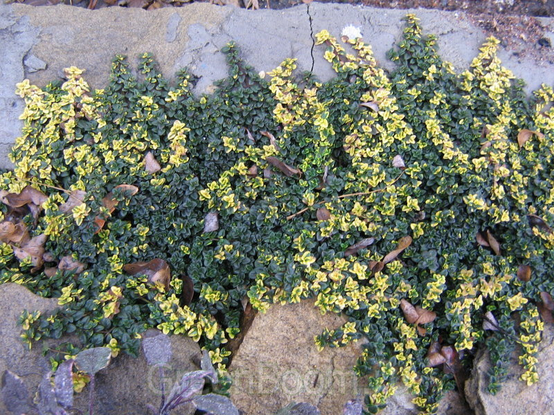 тимьян лимоннопахнущий