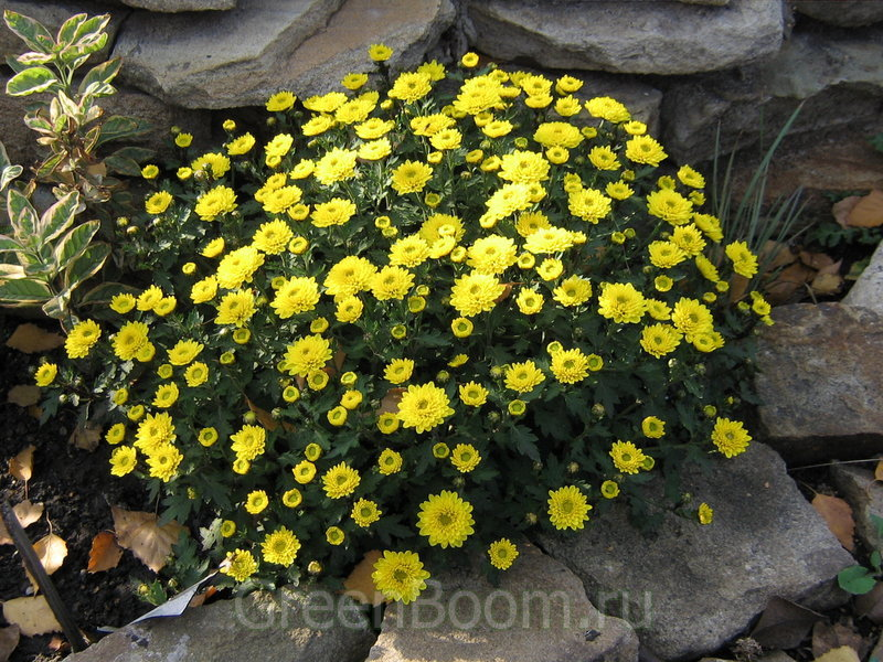 Chrysanthemum multiflora (Хризантема многоцветковая) / Pampa (Пампа)