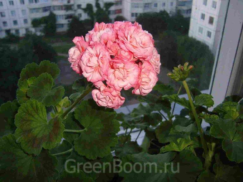 Пеларгонии зональные / Pelargonium zonale (Пеларгония ...: http://greenboom.ru/plant_info/7070/pelargonii_zonalnye/pelargonium_zonale_pelargoniya_zonalnaya_denise