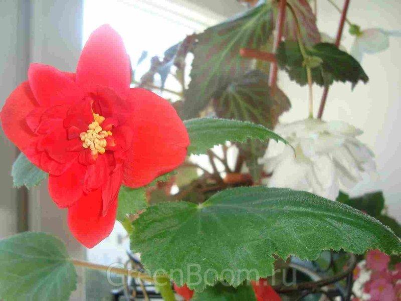 Begonia ×tuberhybrida (Бегония клубневая) / Гибридная красная