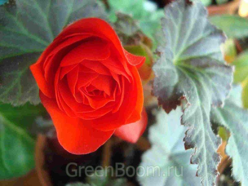 Begonia ×tuberhybrida (Бегония клубневая) / Гибридная_махровая красная