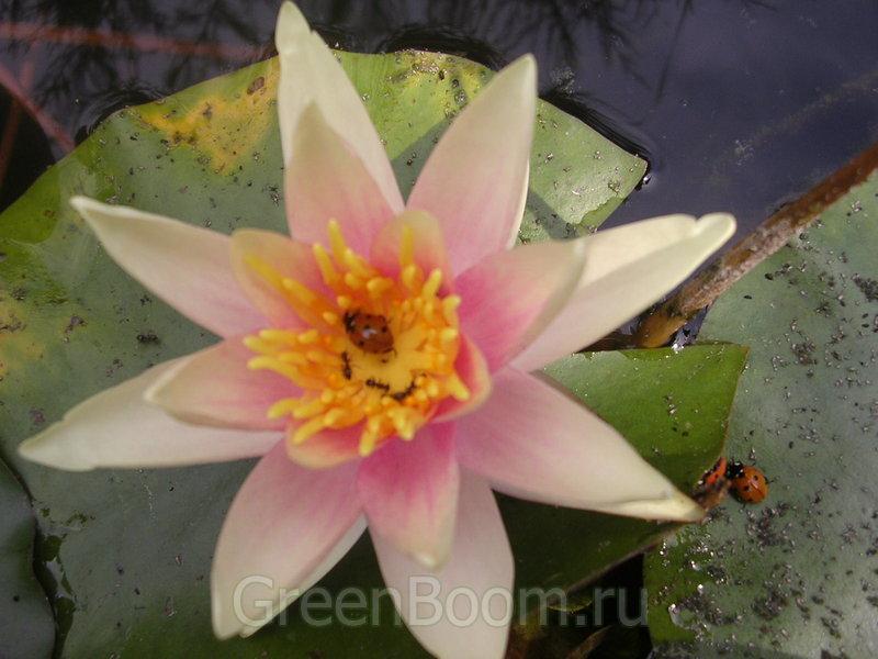 Nymphaea sp. (Кувшинка = Нимфея) / Безымянный_оранжевоцветковый