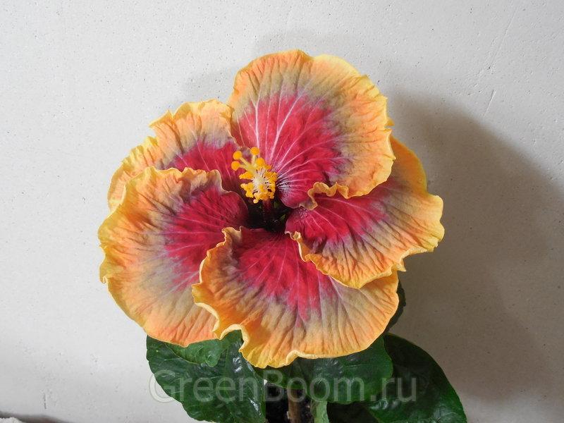 Tahitian hibiskus