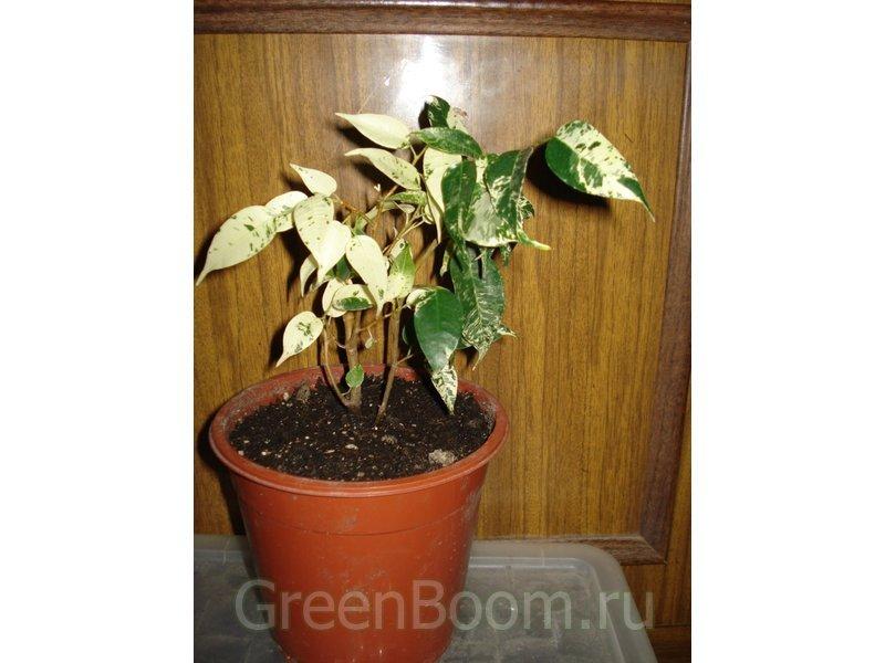 фикус каучуконосный уход и размножение в домашних условиях фото