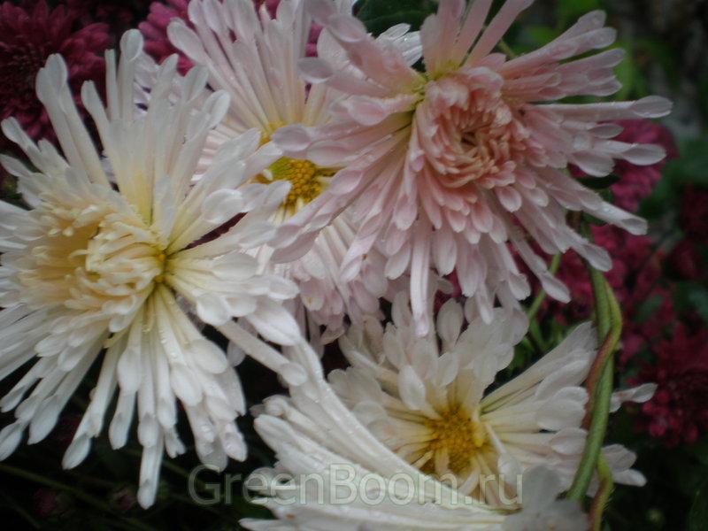 Хризантема махровая платье невесты выращивание 28