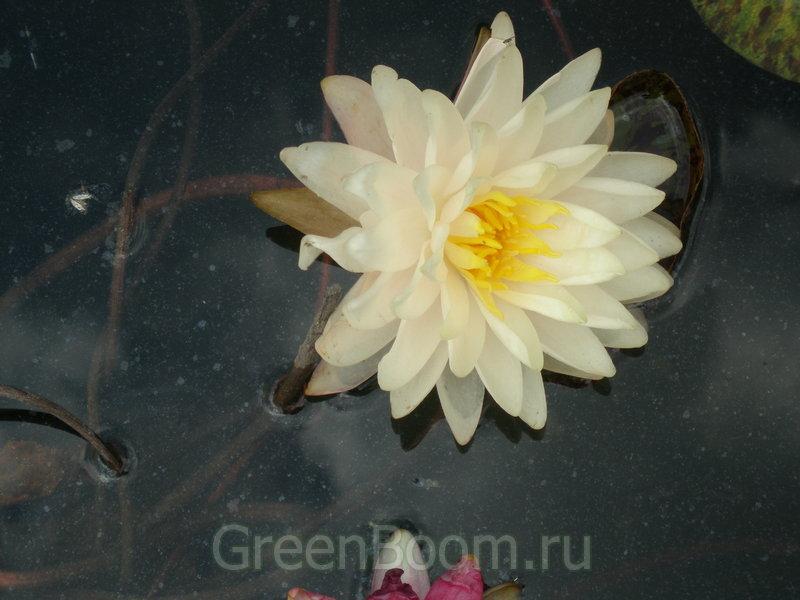 роза арлекин фото