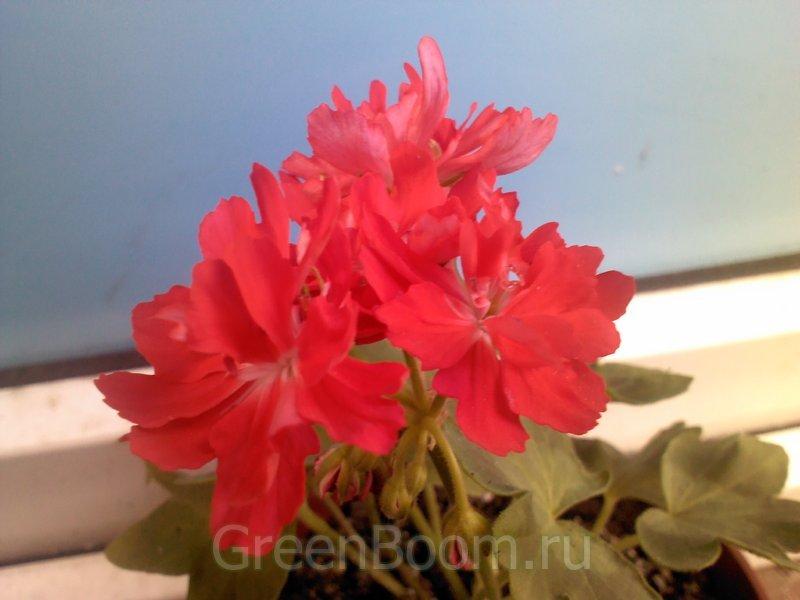 Пеларгонии зональные / Pelargonium zonale (Пеларгония ...: http://greenboom.ru/plant_info/44278/pelargonii_zonalnye/pelargonium_zonale_pelargoniya_zonalnaya_redshill