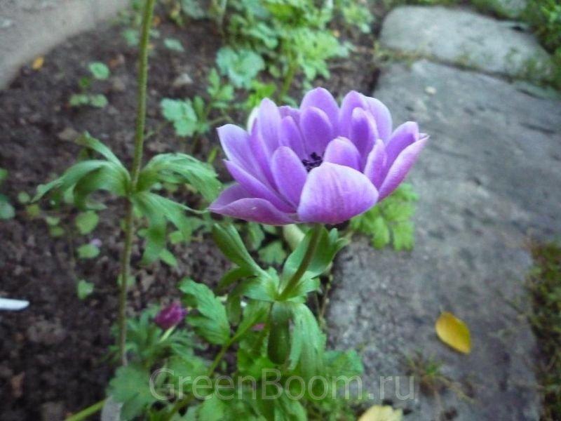 Луковичные цветы анемоне