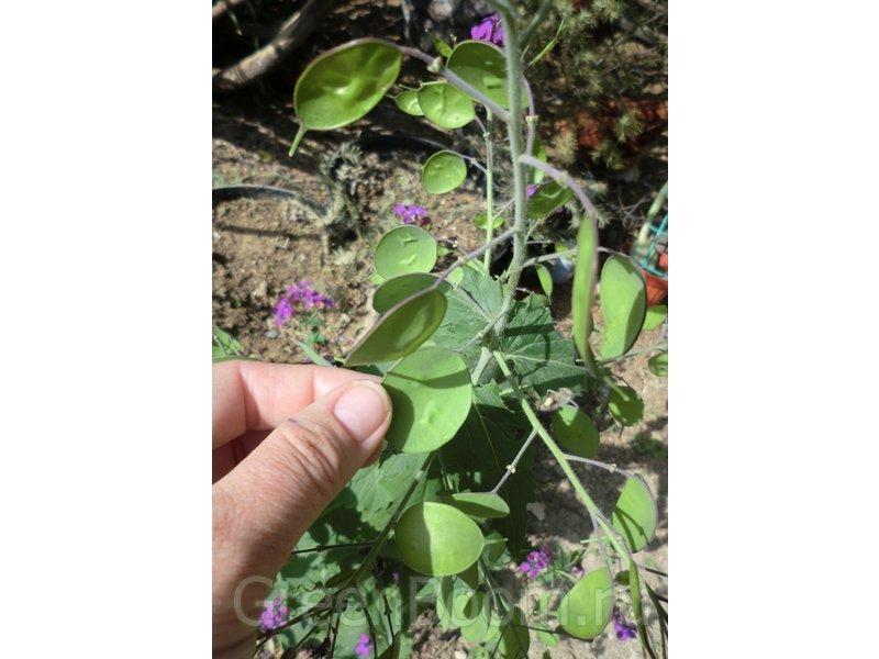 как вырастить колеус из семян фото