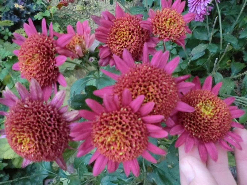 Santini Spray Chrysanthemum (Сантини кустовая хризантема) / Орфей