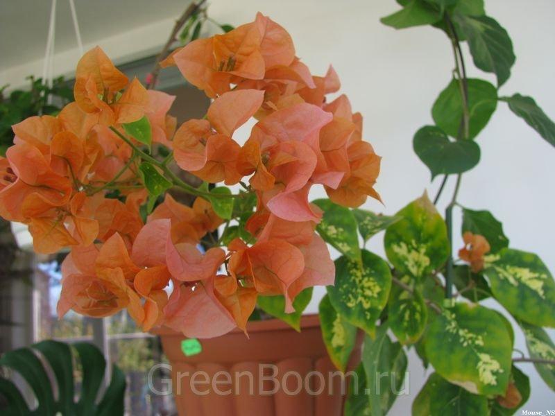 Orange king bougainvillea