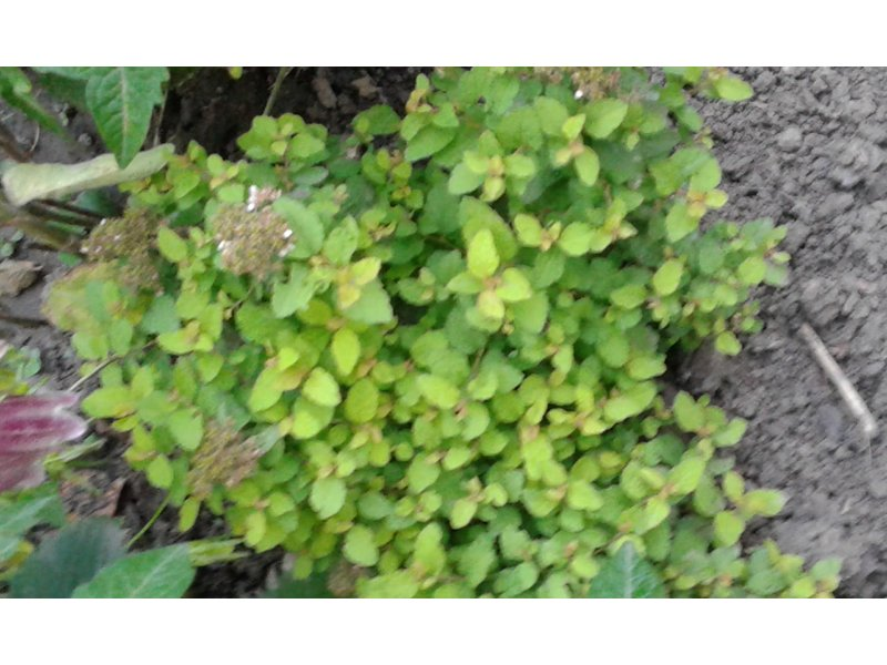Spiraea japonica (Спирея японская) / Не определен