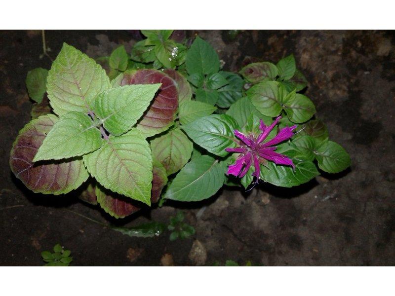 Monarda sp. (Монарда) / Безымянный_фиолетовоцветковый