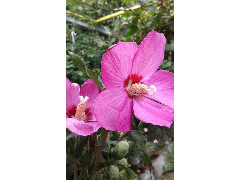 Hibiscus syriacus (Гибискус сирийский) / Безымянный