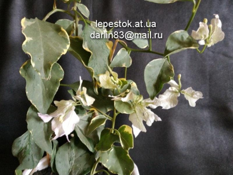 Bougainvillea (Бугенвиллея) / Apple Blossom Mutation