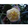 Achimenes hybr. (Ахименес) / Yellow English Rose