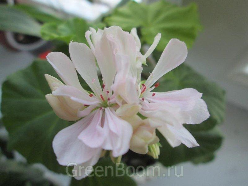 Пеларгонии зональные / Pelargonium zonale (Пеларгония ...: http://greenboom.ru/plant_info/44170/pelargonii_zonalnye/pelargonium_zonale_pelargoniya_zonalnaya_susan_payne