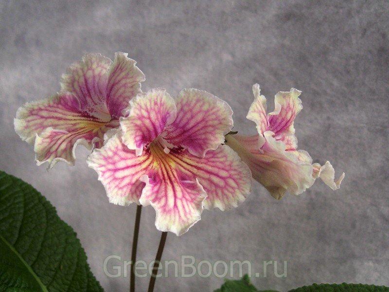 Геснериевые: Стрептокарпусы / Streptocarpus hybr. (Стрептокарпус ...