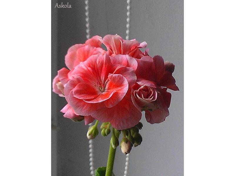 Пеларгония аскола фото и описание