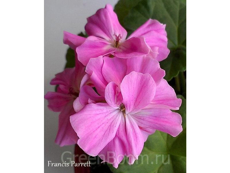 Pelargonium zonale (Пеларгония зональная) / Francis Parrett