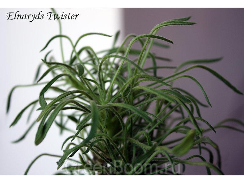 Pelargonium zonale (Пеларгония зональная) / Elnaryds Twister