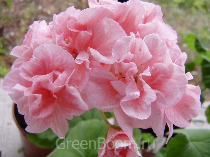 Pelargonium zonale (Пеларгония зональная) / Marbacka Sorgardens