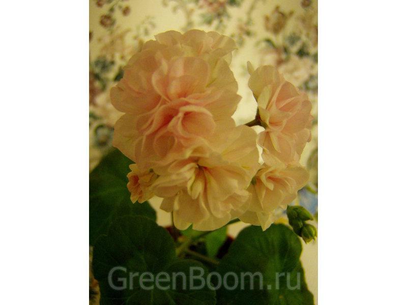 Пеларгонии зональные / Pelargonium zonale (Пеларгония ...: http://greenboom.ru/plant_info/61573/pelargonii_zonalnye/pelargonium_zonale_pelargoniya_zonalnaya_malins_prla