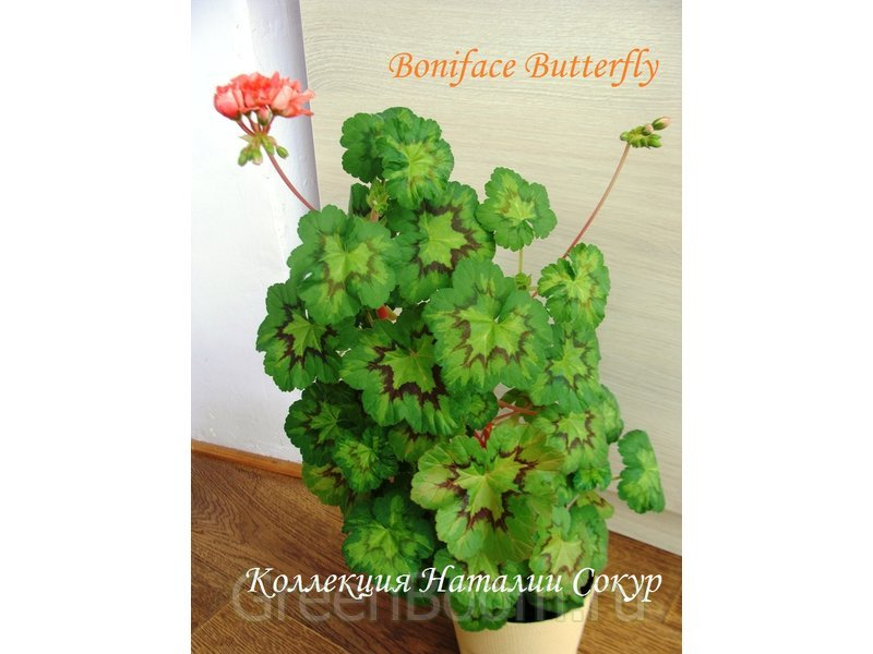 boniface butterfly пеларгония